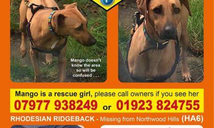 Missing Rhosesian Ridgeback Dog