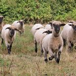Galloping-sheep-COAM-600px