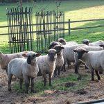 COAM-Sheep-600px.jpg
