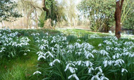 SNOWDROPS, SNOWDROPS EVERYWHERE!