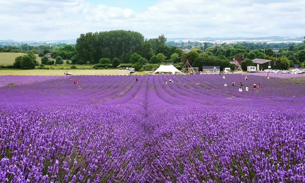 EXPLORE: Hitchin Lavender