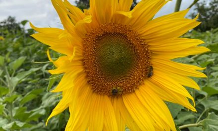 Pick Your Own Sunflowers!