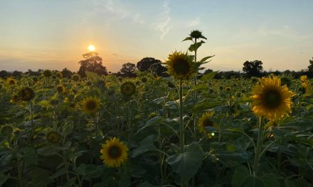 FARMER PAUL'S SUNFLOWER PATCH AND TRAIL